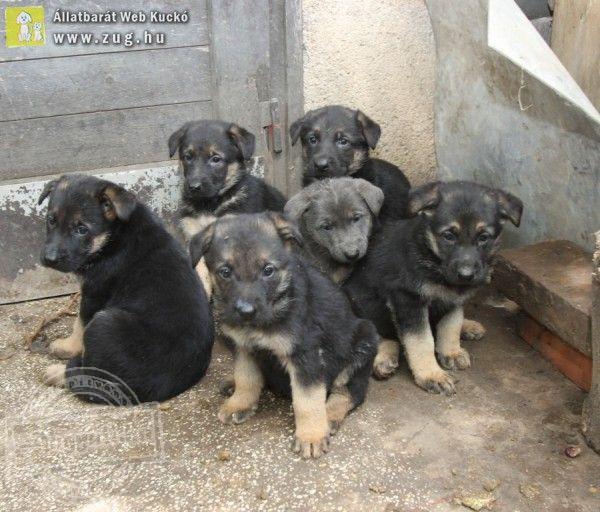 Hat németjuhász kutyust mentett meg az Orpheus Állatvédő Egyesület