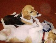 BEAGLE-ért Közhasznú Egyesület - Állatvédelem, állatmentés, fajtamentés